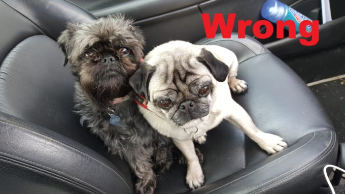 The wrong way to travel with dogs in a car