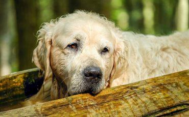 An elderly dog